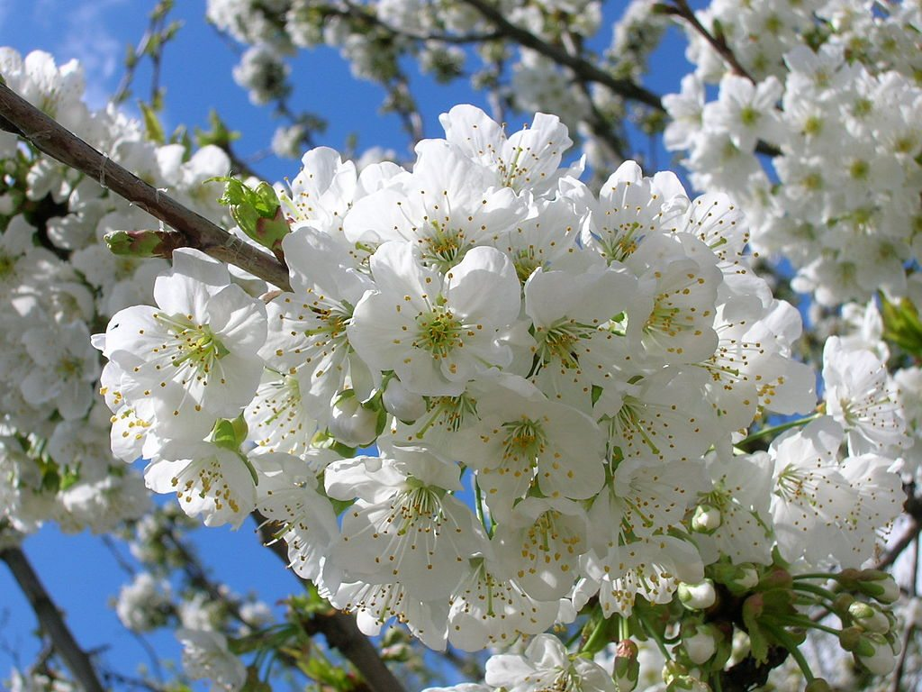 kirsebærtre blomstrer