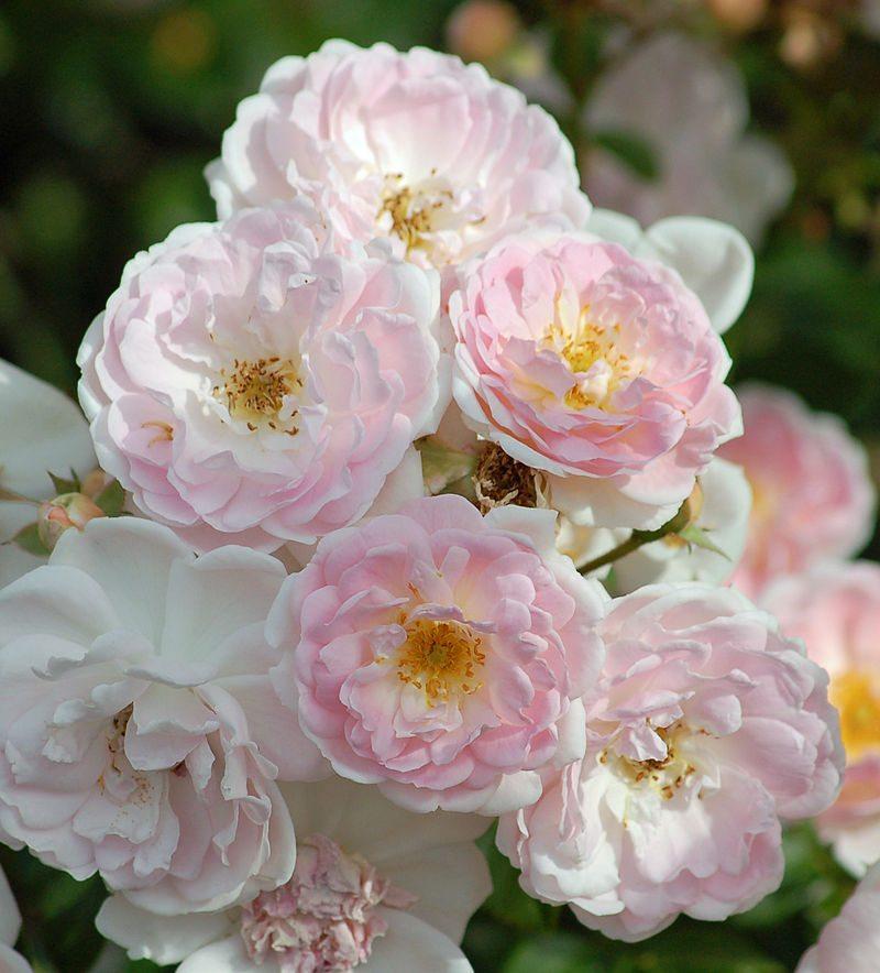 roser Tantau