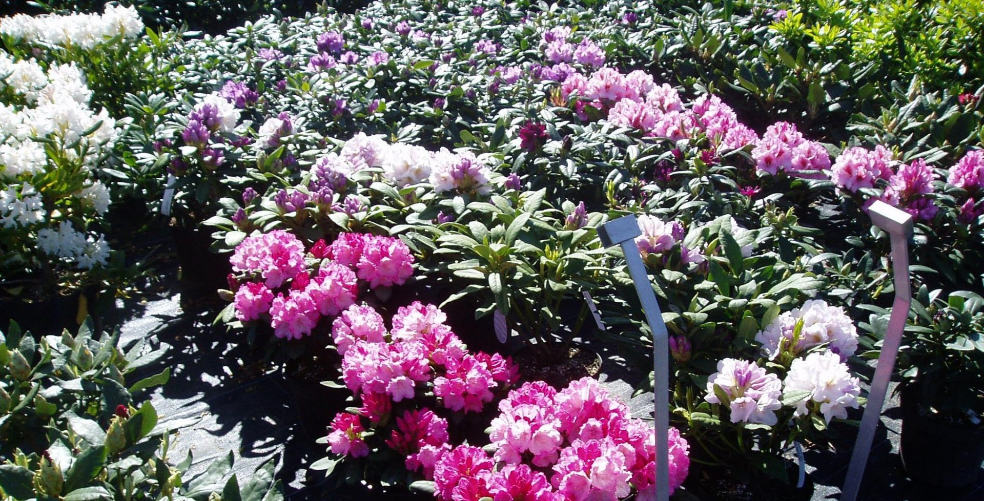 Rhododendron i hvit, lilla, og rosa