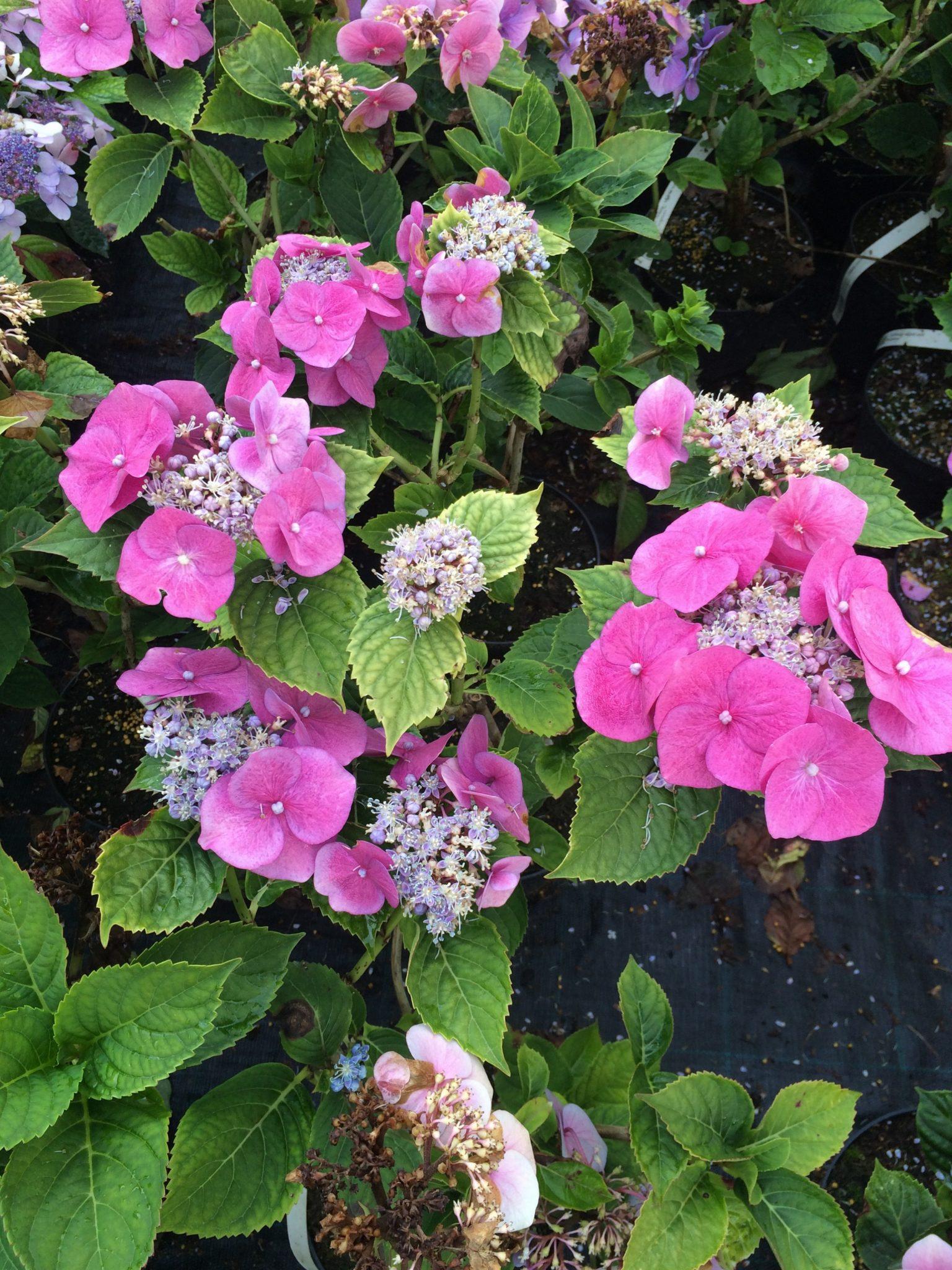 rosa rosebusk